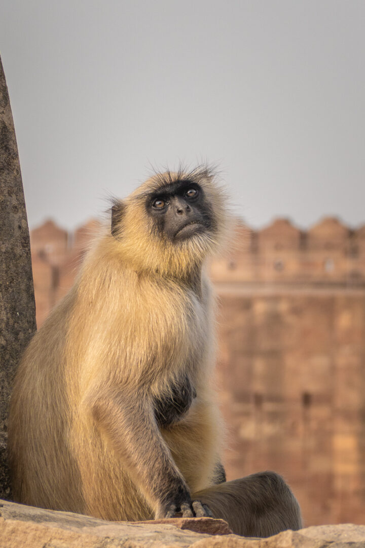 A monkey at Mehrangarh Fort in India