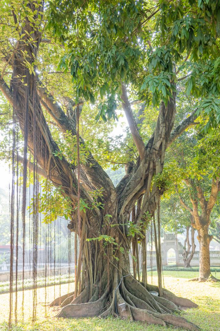 Tree at Temple Of Literature, Hanoi