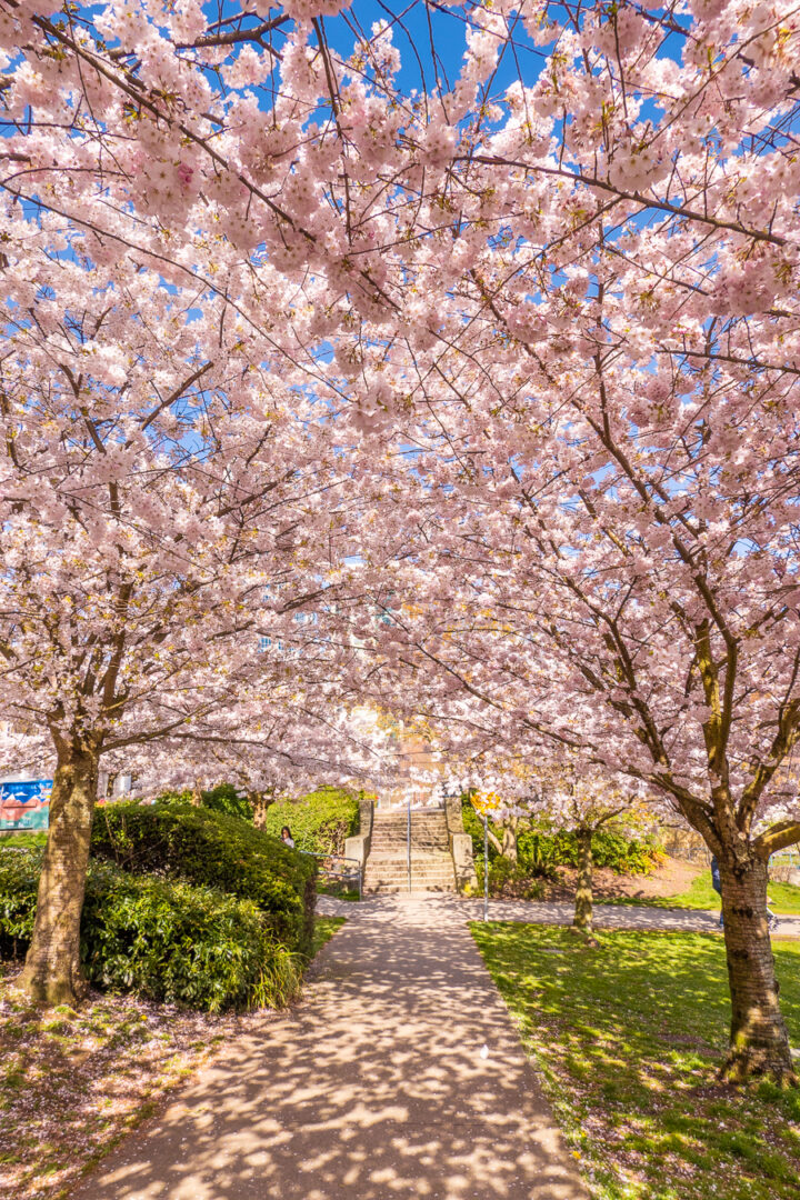 Sidewalk covered by cherry blossom trees