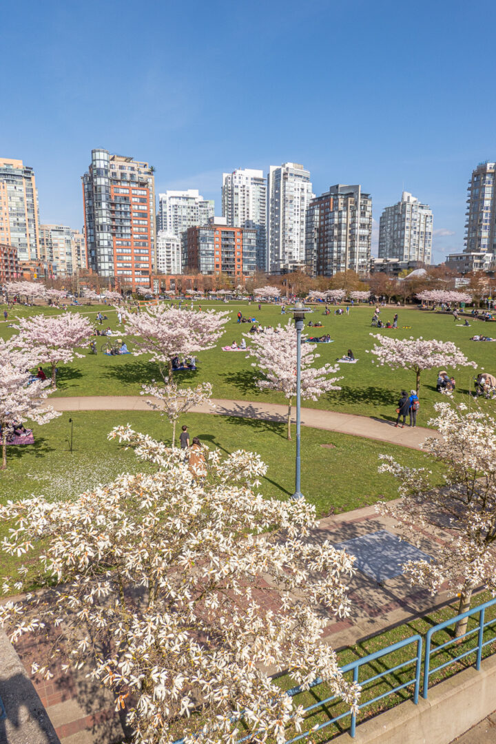 city skyline with park fully of cherry blossom trees in front