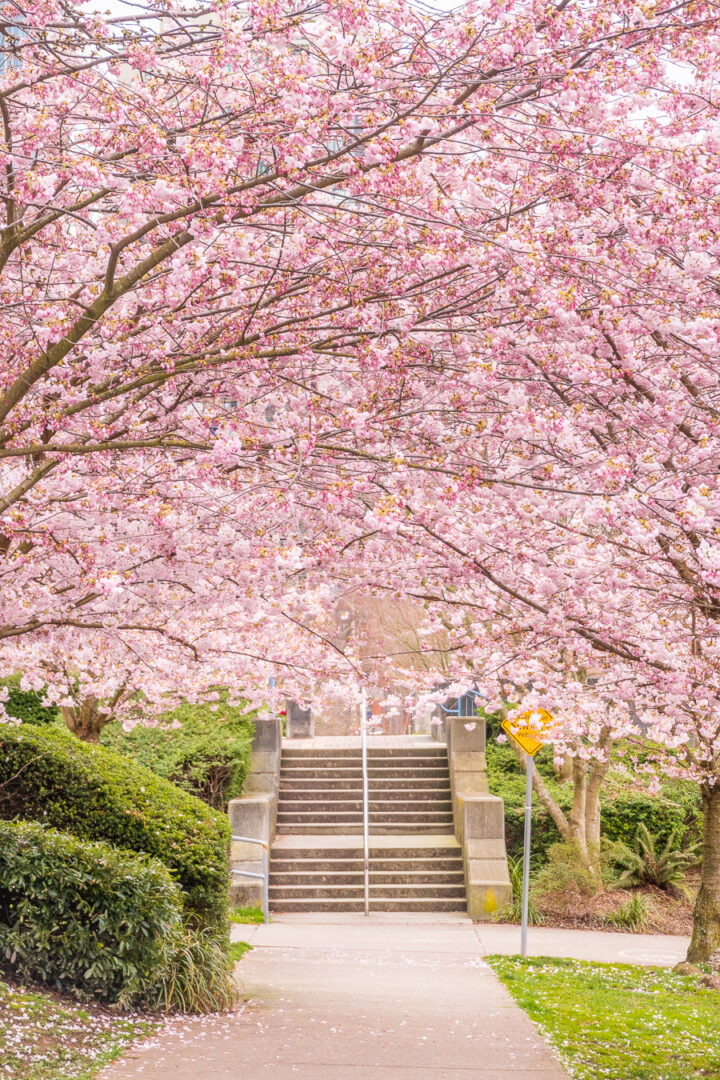 canopy of cherry blossom trees with staircase in the background