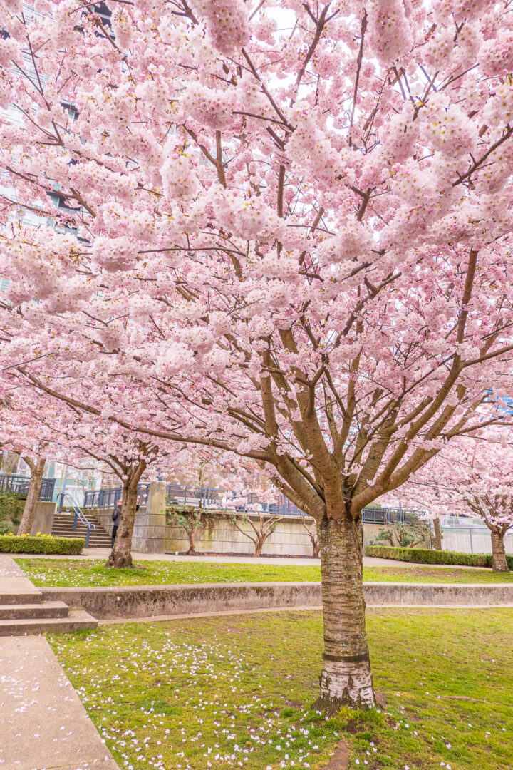 cherry blossom trees with pink petals on the ground