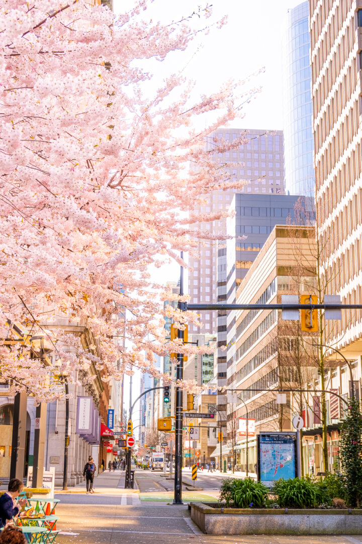 pink cherry blossom trees with cityscape in background