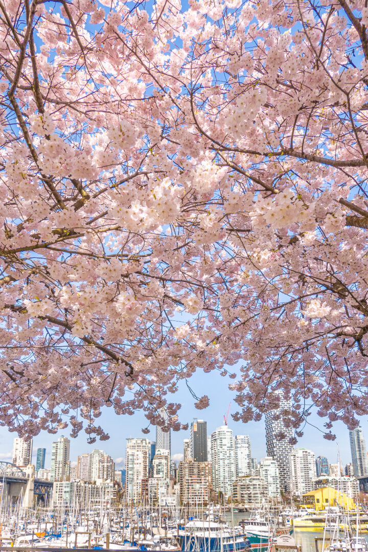 cherry blossoms with harbor and city skyline in background