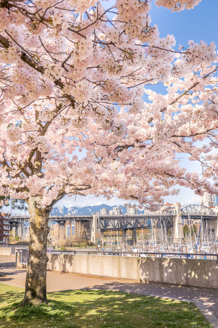 cherry blossom tree with mountains and bridge in background
