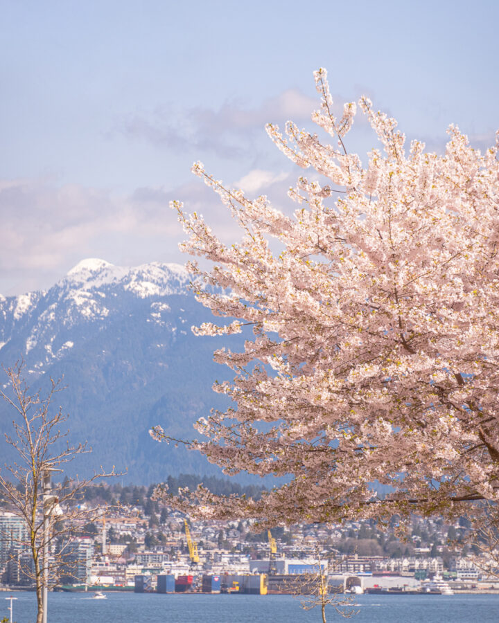 cherry blossom tree with snowcapped mountains in the background