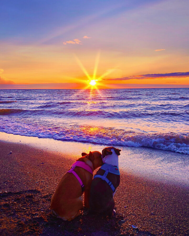 two french bulldogs on the beach at sunset