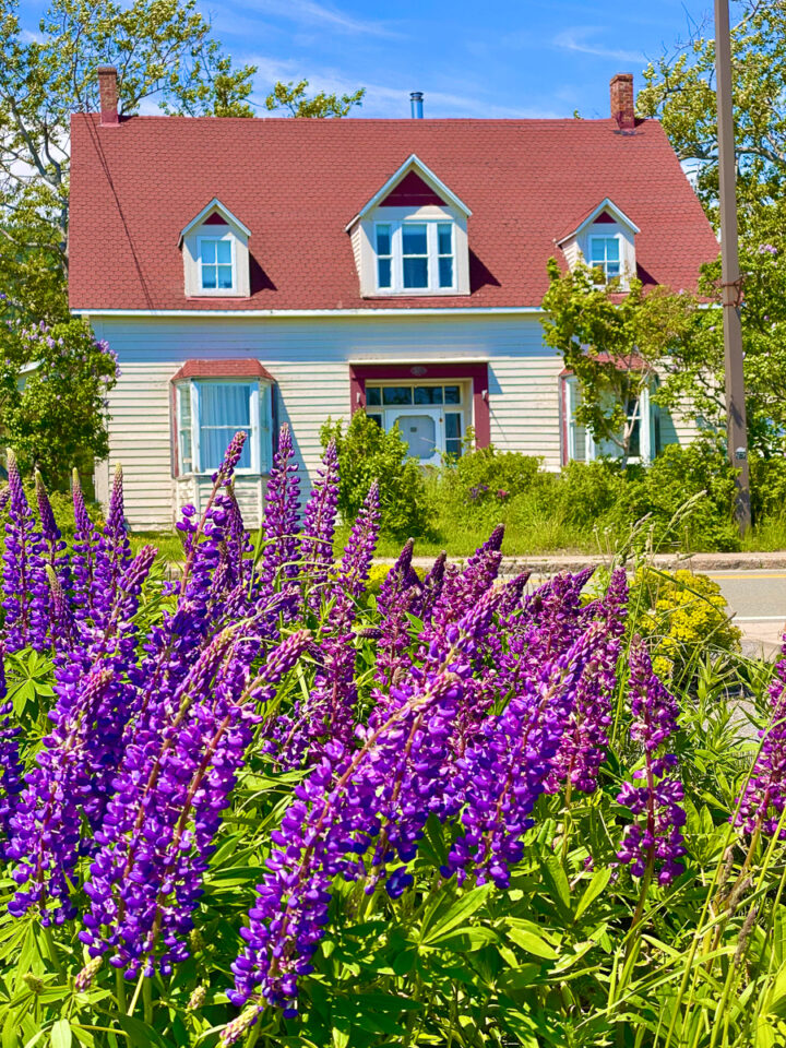white house with red roof and purple lupines